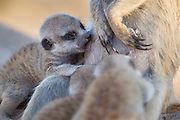 "A Meerkat babysitter ""allolactates"" for the dominant females litter of pups."