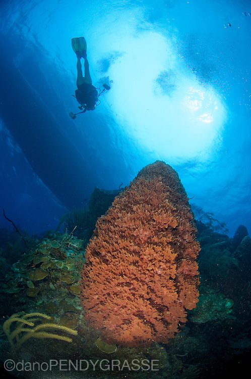 A diver with an underwater camera heads back up to the boat over a giant barrel sponge (Xestospongia muta)on the reef wall.