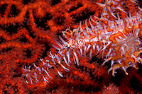 Male Harlequin Ghostpipefish with Eggs, Profile