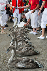 A group of nine Signet swans wanting to be counted and recorded. Swan Upping takes place on the River Thames near Windsor, Berkshire, UK. The annual event dates from medieval times, when The Crown claimed ownership of all mute swans which were considered an important food source for banquets and feasts. Today, the cygnets are weighed and measured to obtain estimates of growth rates and the birds are examined for any sign of injury, commonly caused by fishing hook and line. The cygnets are ringed with individual identification numbers by The Queen's Swan Warden, whose role is scientific and non-ceremonial. The Queen's Swan Marker produces an annual report after Swan Upping detailing the number of swans, broods and cygnets counted during the week. . Photo credit: Ray Tang/LNP