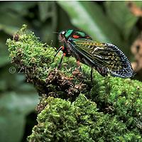 """Cigarra """"Carineta formosa"""", Parque Copesul de protecao Ambiental, em Triunfo, Rio Grande do Sul, Brasil. foto de Ze Paiva/Vista Imagens"""