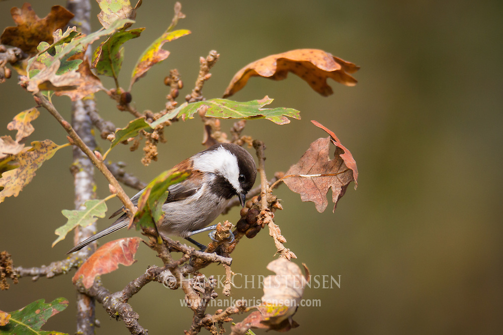 A chestnut-backed chickadee poses on a small branch whose leaves are beginning to turn colors