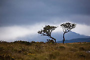 Two lonely trees and a pyramid of clouds, on the Kerry Way, Torc Mountain, Kerry.