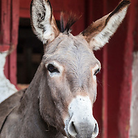 Oliver at the Primrose Donkey Sanctuary, Roseneath, Ontario