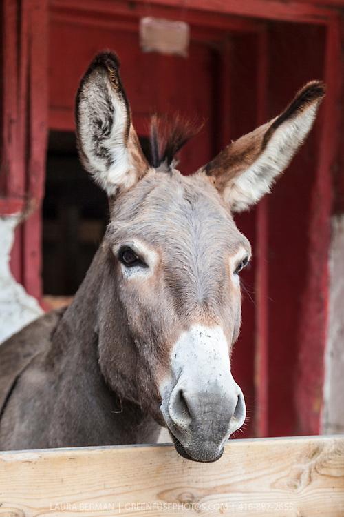 Oliver at the Primrose Donkey Sanctuary, Roseneath, Ontario