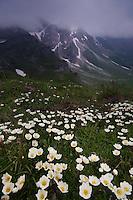 Mountain avens; Dryas octopetala, Augstenberg, Liechtenstein