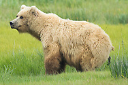 Grizzly Bear Relieving Itself in Meadow, Lake Clark National Park, Alaska
