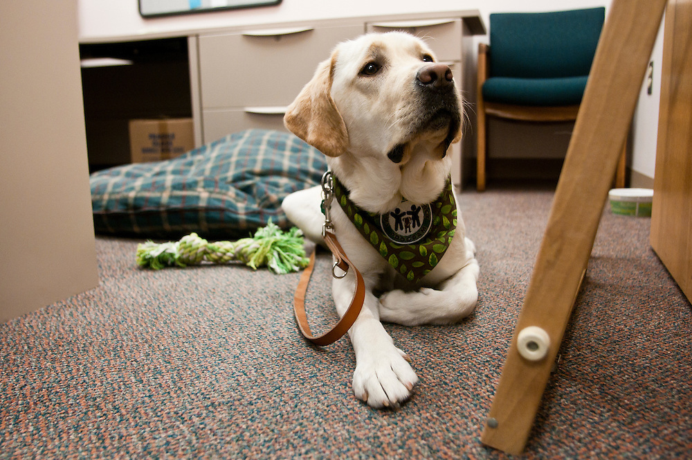 Lathan Goumas | The Bay City Times..Dodger lays in the Bay County Prosecutor's Office in Bay City, MI. on Wednesday November 23, 2011. Dodger is a new canine advocate dog that will be working in the prosecutor's office.
