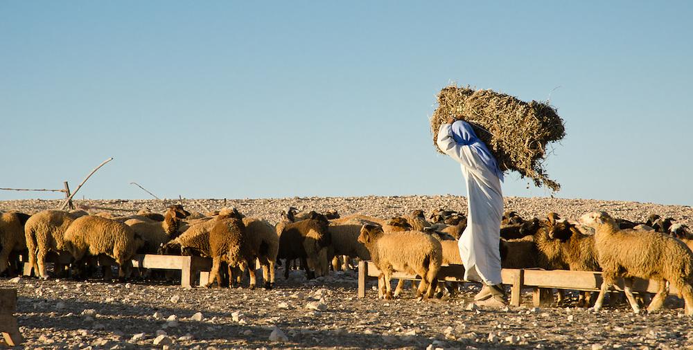 Khamis Abdel-en-Nebi hauls a bale of hay over drought-stricken land to the sheep he tends in the desert outside of Marsa Matruh, Egypt.