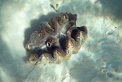 A giant clam in the Clerke Lagoon at the Rowley Shoals.