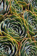 A group od succulents growing together.