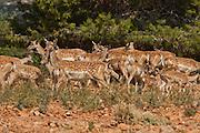 herd of  Mesopotamian Fallow deer (Dama mesopotamica) Photographed in Israel Carmel forest in August
