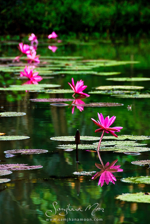 """These beautiful flowers grow at the sacred site of Sigiriya (Lion's rock). It was monsoon season and a heavy storm had just passed leaving a moody light which saturated the colours for this magical shot.""<br />