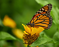 Monarch Butterfly on a Yellow Zinnia Flower. Image taken with a Fuji X-H1 camera and 80 mm f/2.8 macro lens
