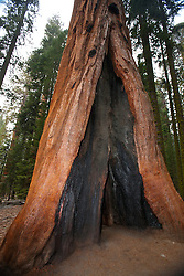 Giant Sequoia tree (Sequoiadendron giganteum) with base hollowed out by fire, Sequoia National Park, California, United States of America
