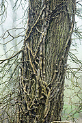 Ivy - Hedera Helix - growing up an ancient tree for support, UK