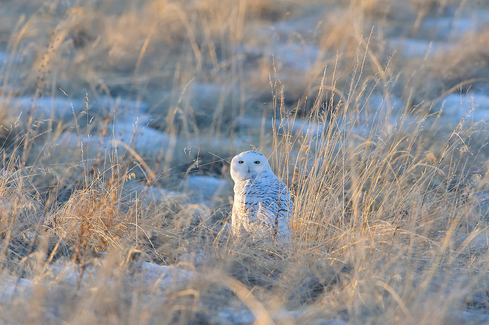 Snowy Owl in the tall grass, Polson, Montana