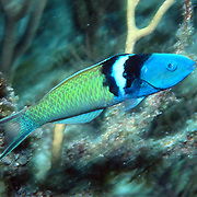 Bluehead inhabit reefs in Tropical West Atlantic; picture taken Grand Cayman.