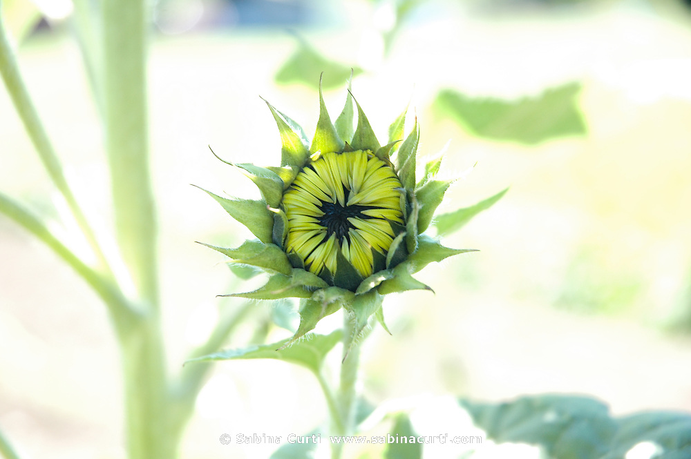 Farm Girl Farm CSA, sustainable community supported agriculture. Baby sunflower.