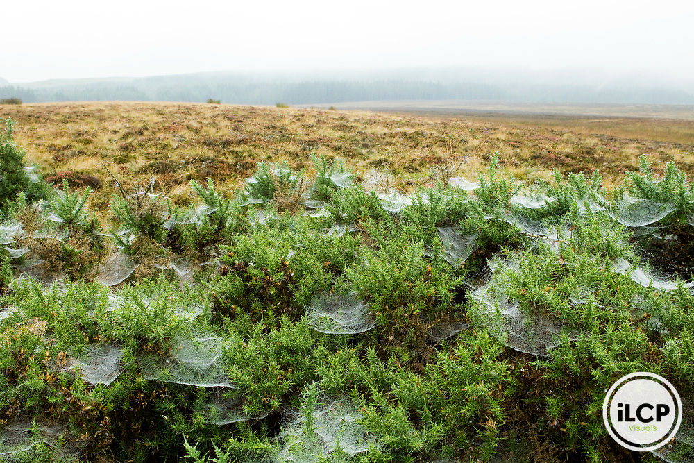 Spider webs on shrubs, Scotland, United Kingdom