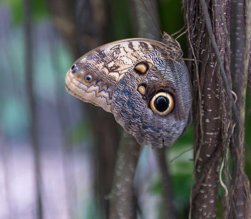 Close-up of an owl butterfly with brown and yellow wings on a plant stalk.