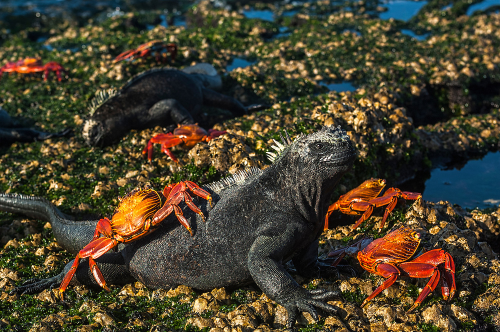Marine Iguana (Amblyrhynchus cristatus) & Sally lightfoot crabs (Grapsus grapsus)<br /> Fernandina Island, Galapagos Islands<br /> ECUADOR.  South America<br /> ENDEMIC TO THE ISLANDS<br /> These are the only true marine lizard in the world. Although not truely social they are highly gregarious, often spending cool nights in tight clusters. As the sun rizes they can be seen sunning themselves on the rocks to heat up before going into the sea to feed. Their black coloration helps them to absorb the sun's energy and to camourflage on the lava rocks.