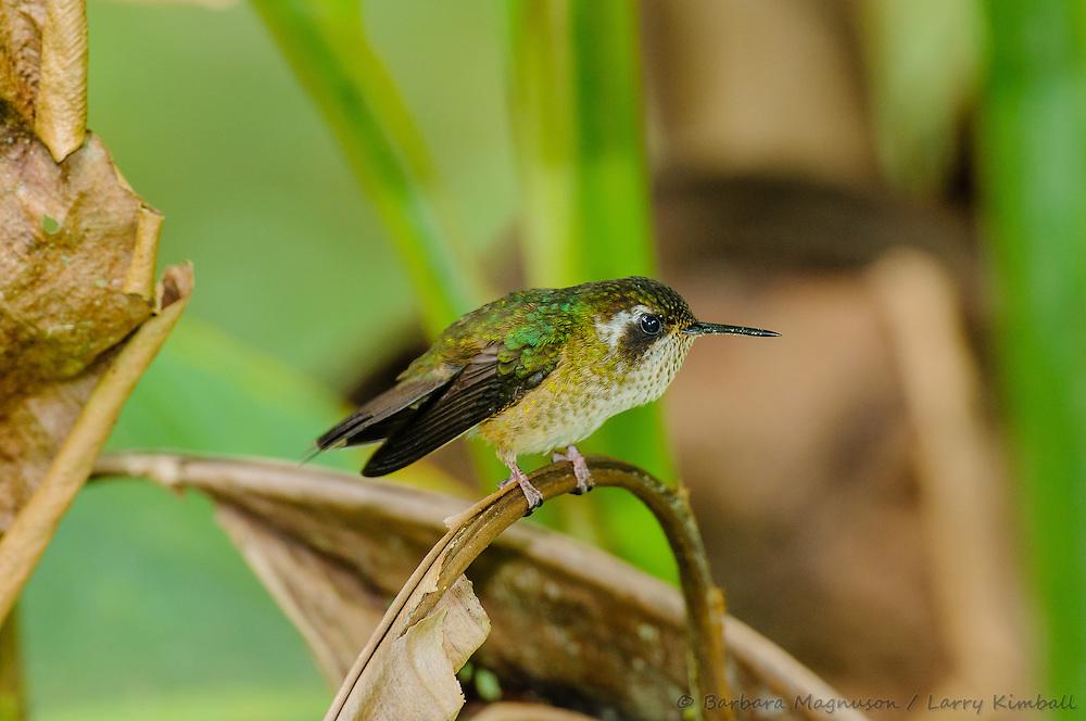 Speckled Hummingbird [Adelomyia melanogenys] perched; Cabanas San Isidro, Ecuador