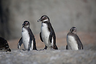 A group of penguins at Boulders Beach, South Africa. http://www.gettyimages.com/detail/photo/african-penguins-at-boulder-beach-south-africa-royalty-free-image/89053450