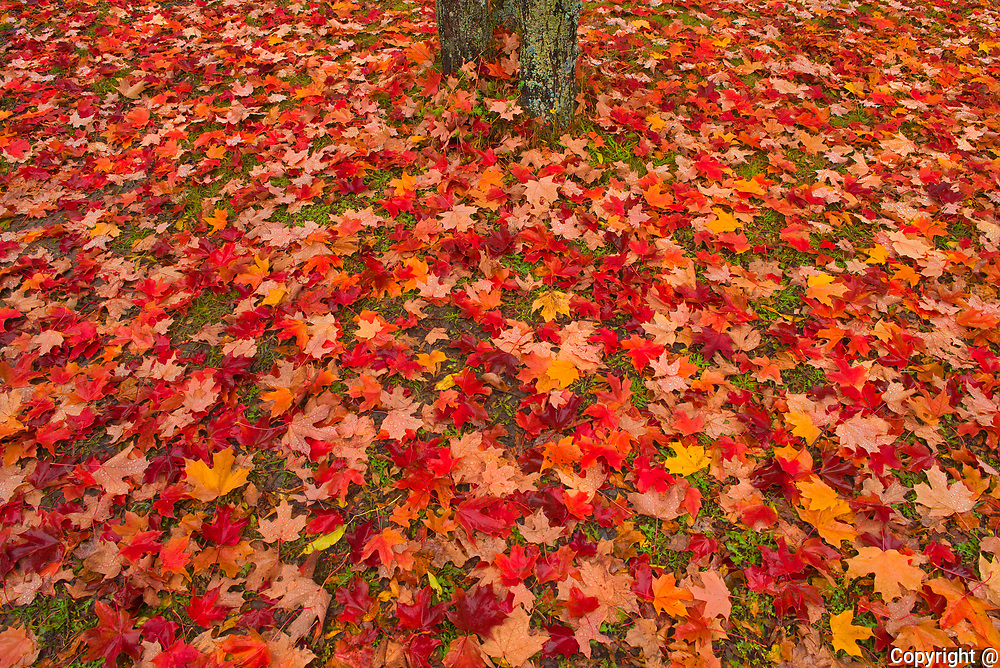 Sugar maple (Acer saccharum) leaves and tree trunk<br />