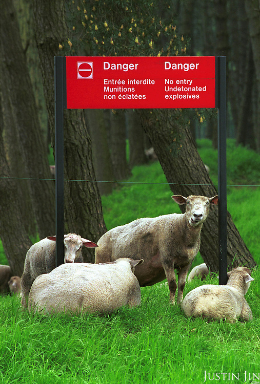 Sheeps graze at former trenches that has since buried many undetonated explosives...Photo taken 10 May 2000 at the Canadian War Memorial at Vimy, France..Credit: Justin Jin