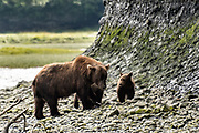 A grizzly bear sow with her spring cubs along the lower lagoon at the McNeil River State Game Sanctuary on the Kenai Peninsula, Alaska. The remote site is accessed only with a special permit and is the world's largest seasonal population of brown bears.