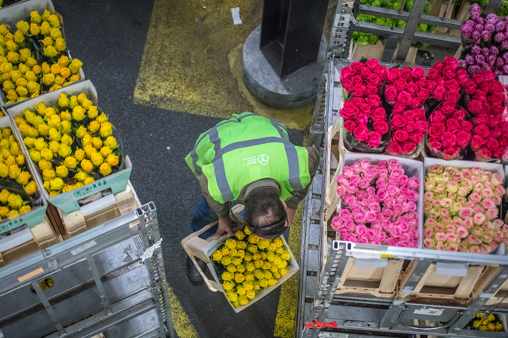 A worker in the warehouse at the worlds largest flower auction, Royal Flora Holland moves a box of yellow roses. Amsterdam, Netherlands
