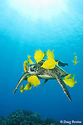 green sea turtle, Chelonia mydas ( Threatened Species in Hawaii; Endangered elsewhere), being cleaned of algae by yellow tangs, Zebrasoma flavescens ( herbivorous surgeonfish ), Puako, Kona, Hawaii, U.S.A. ( Central Pacific Ocean )