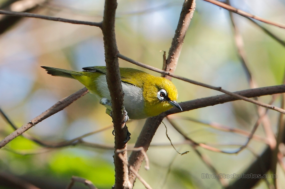 Malagasy White-eye, (Madagascar White-eye), Zosterops maderaspatanus, Madagascar, by Paul Ellis