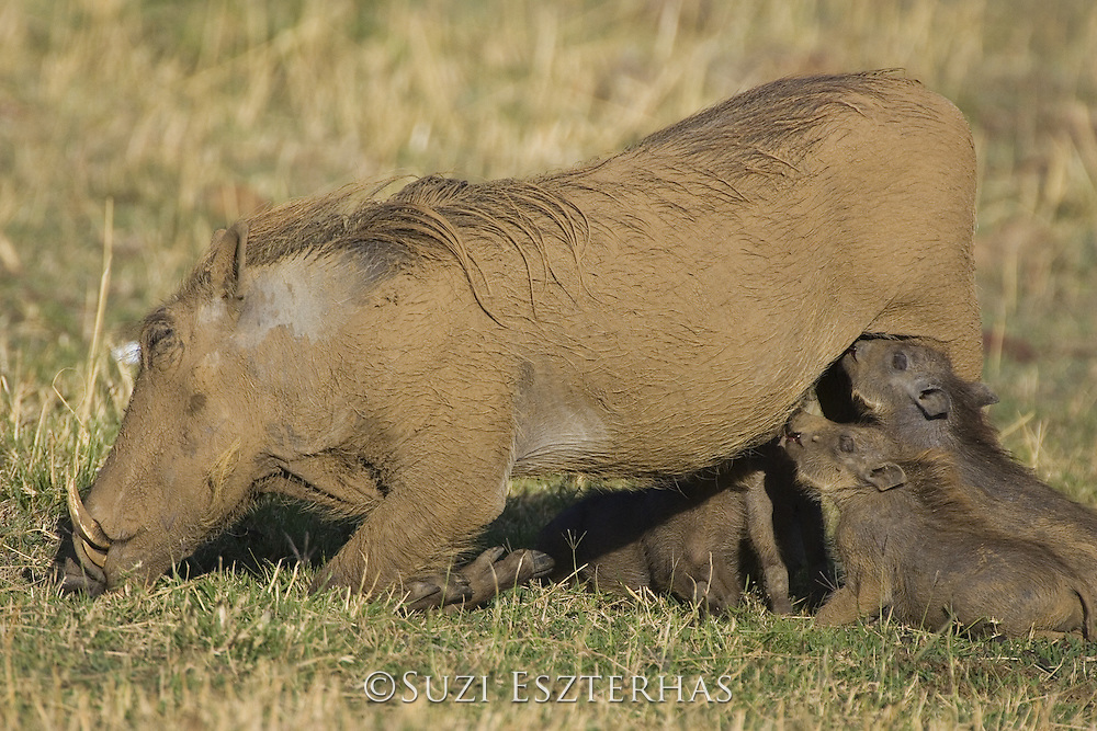 AFRICAN WART HOG <br /> Phacochoerus aethiopicus<br /> young piglet suckling<br /> Masai Mara Reserve, Kenya