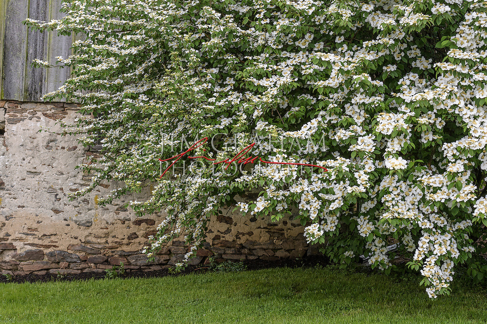 Dogwood blooming against the barn wall at The Big Bend Farm, Saturday 7 May 2016. Photograph by Jim Graham