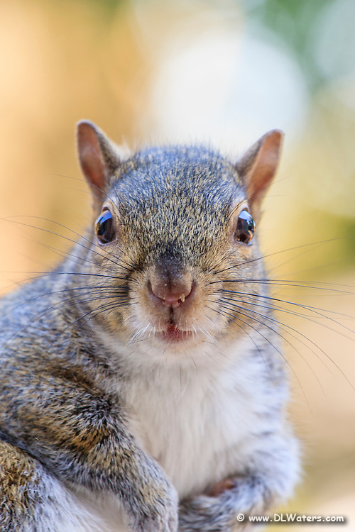 A close-up photo of a gray squirrel sitting up and trying to stay warm on an Outer Banks winner morning.