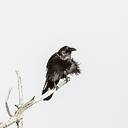 Raven on branch, black and white,