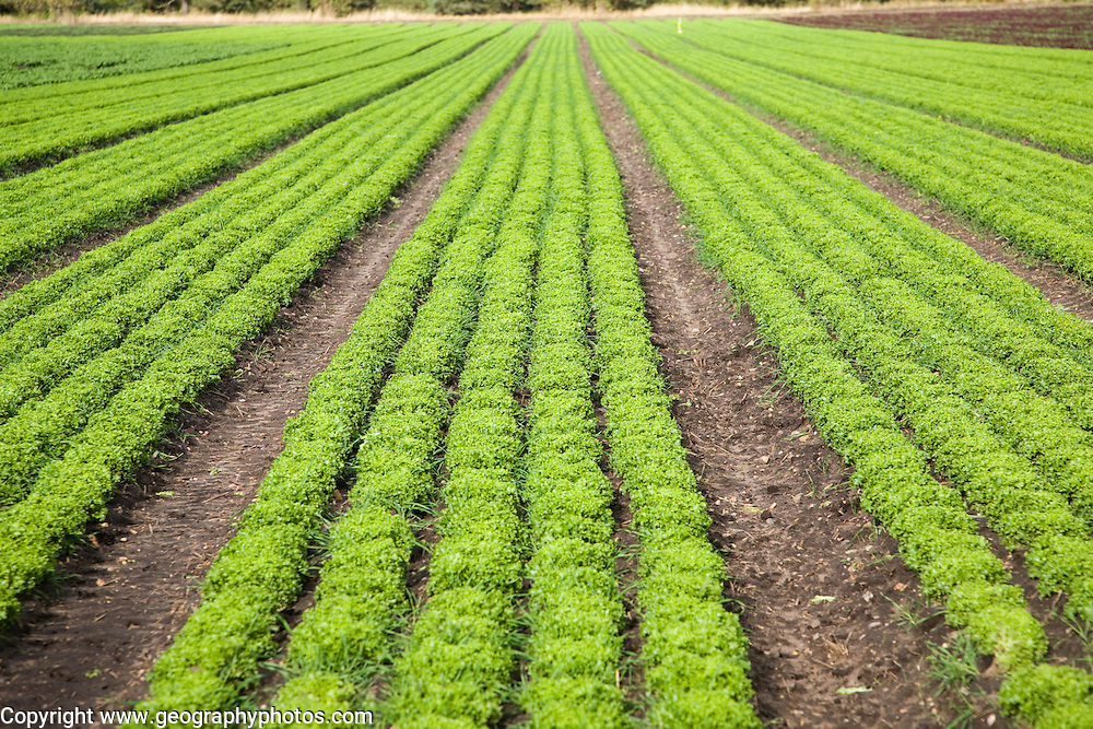 Lettuce crop growing in field near Hollesley, Suffolk, England