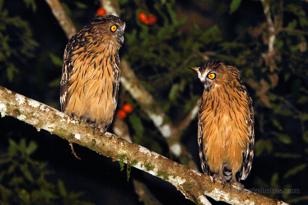Buffy Fish Owl, Ketupa ketupu, Tabin Game Reserve, Borneo, Malaysia, by Adam Riley