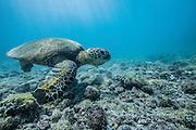 A Hawaiian Green Turtle looks for food along the reef off the coast of Big Island.
