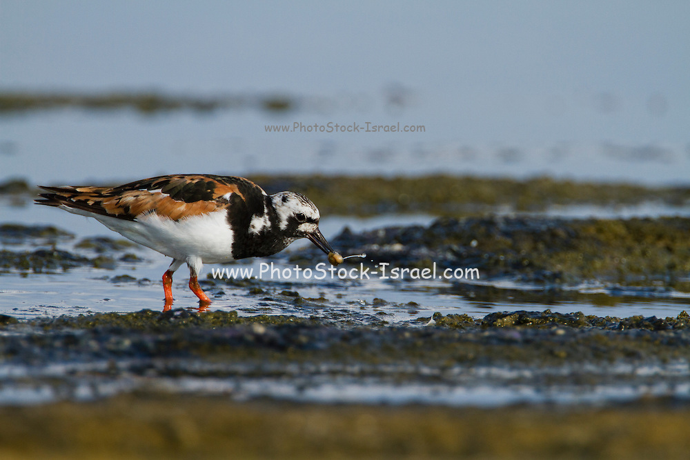 Ruddy Turnstone (Arenaria interpres) scavenging for food on a beach. Photographed in Israel in August