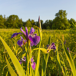 Ferns and blue flag iris, iris versicolor, in a field in Epping, New Hampshire.