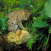 Ocelot, Felis (Leopardus) pardalis, Belize District, Belize