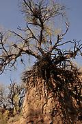 Mesquite trees in Cienega Creek Natural Preserve, Cienega Creek, a perennial creek channel, Marsh Station Road, Davidson Canyon, Gabe Zimmerman Trailhead, Arizona Trail, Vail, Arizona, USA, Sonoran, Desert.