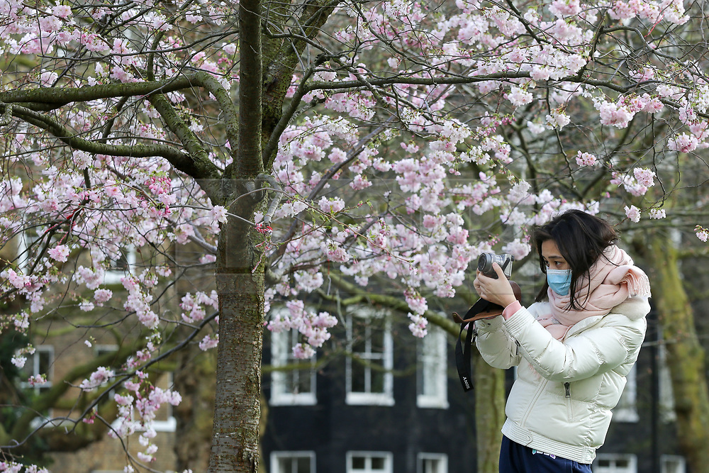 © Licensed to London News Pictures. 11/03/2020. London, UK. A woman wearing a surgical face mask takes photograph of the cherry blossoms in St James's Park. 456 cases have tested positive for the virus in the UK. Photo credit: Dinendra Haria/LNP
