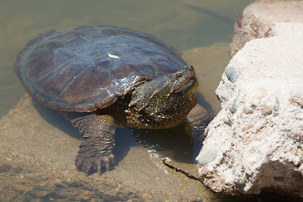 Snapping Turtle, Twin Lakes Open Space, Gunbarrel, Colorado