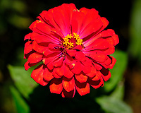 Zinnia Flower. Image taken with a Fuji X-H1 camera and 80 mm f/2.8 macro lens + 1.4x teleconverter