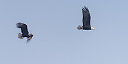 A pair of Bald Eagles fly along the beach on Whidbey Island calling to each other.