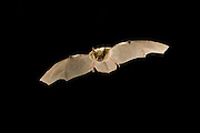 This young fringed myotis (Myotis thysanodes) bat has just learned to fly. It will, however, contnue to nurse from its mother until it is able to hunt on the wing. Coconino National Forest, Arizona.